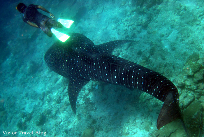 Underwater photo of a giant whale shark. The Maldives.