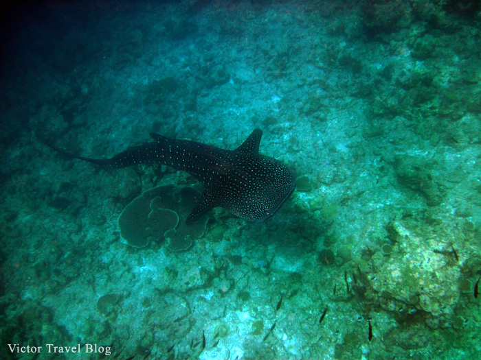 Whale shark. The Maldives.