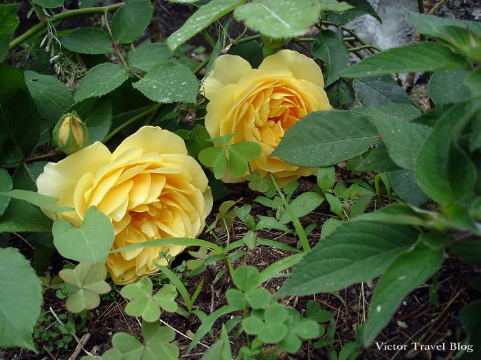 Roses in the garden of Camin Hotel Colmegna, Lake Maggiore, Italy.