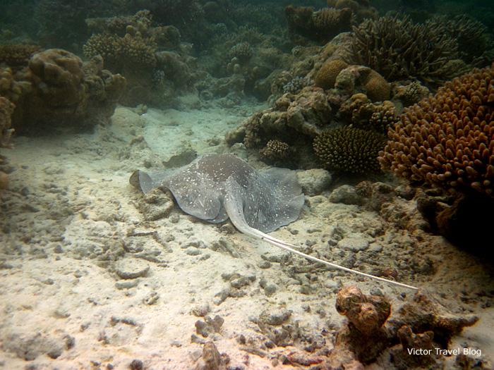 Big stingray. Red Sea, Sharm El Sheikh, Egypt.