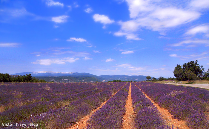 French lavender field. Provence, France.