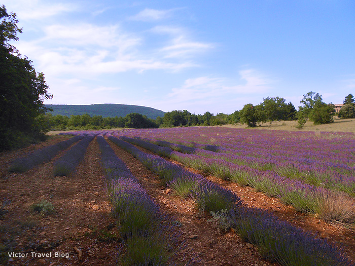 French lavender field in Provence, France