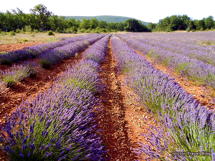 French lavender field in Provence, France.