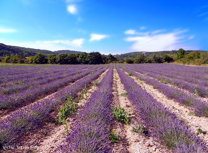 The blossoming French lavender field in Provence, France.