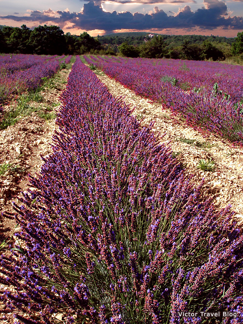 French lavender field and august sunset in Provence, France.