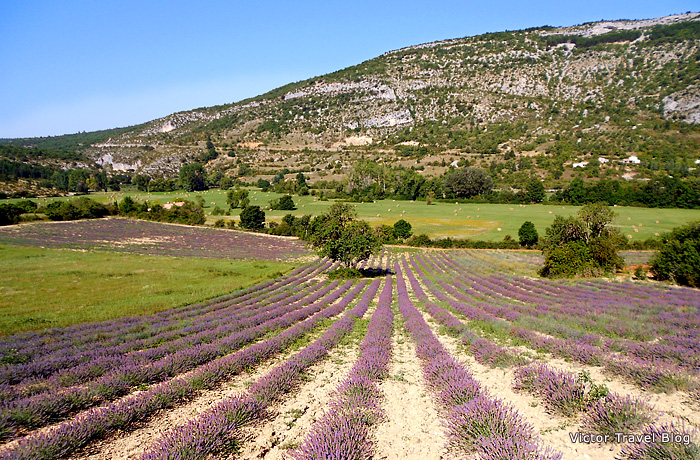 French lavender fields in Provence, France.