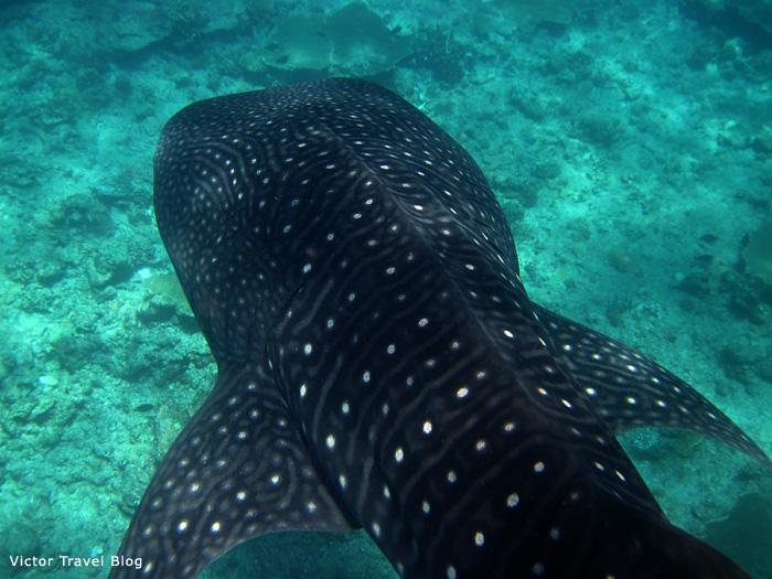 Giant whale shark. The Maldives.