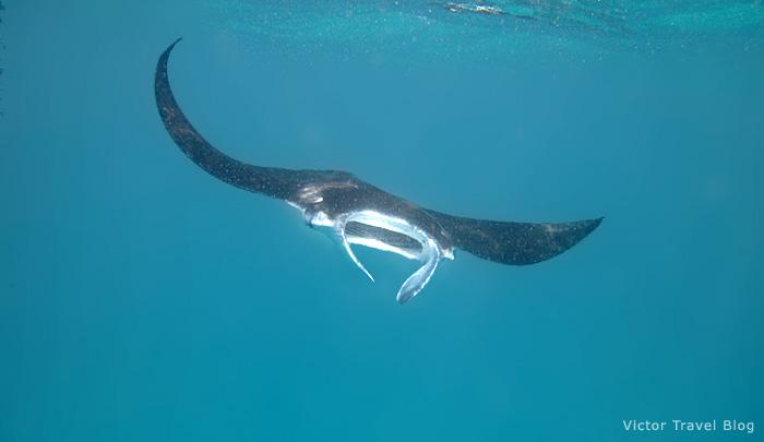 Manta ray on the Maldives.