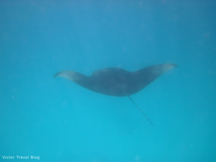 Manta ray. The Indian Ocean. The Maldives.
