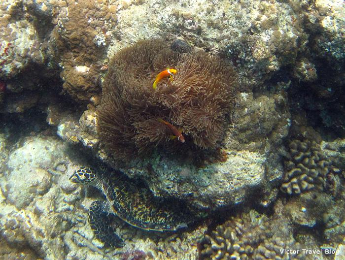 Aquatic turtle. The Maldives.