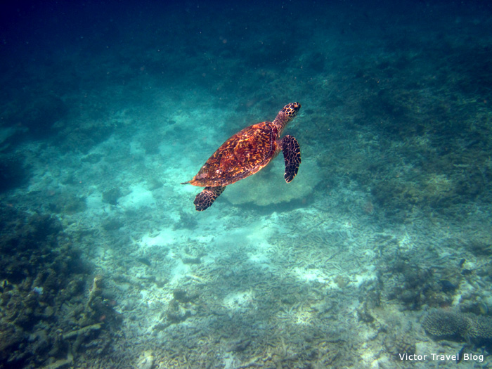Aquatic turtle. The Maldives. The Indian Ocean.