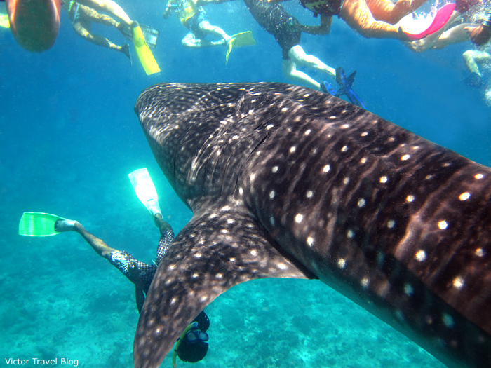 Whale shark with people around. The Maldives. The Indian Ocean.