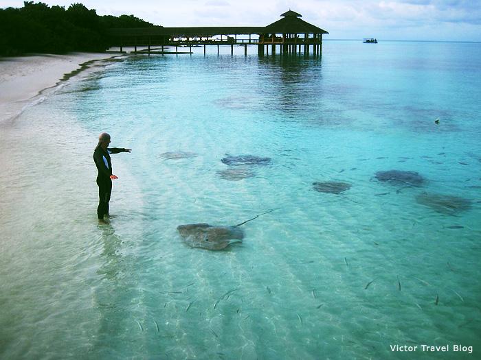 Stingrays. Reethi Beach Resort, the Maldives