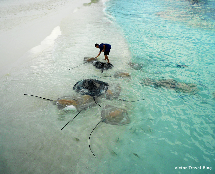 Stingrays at Reethi Beach, the Maldives.