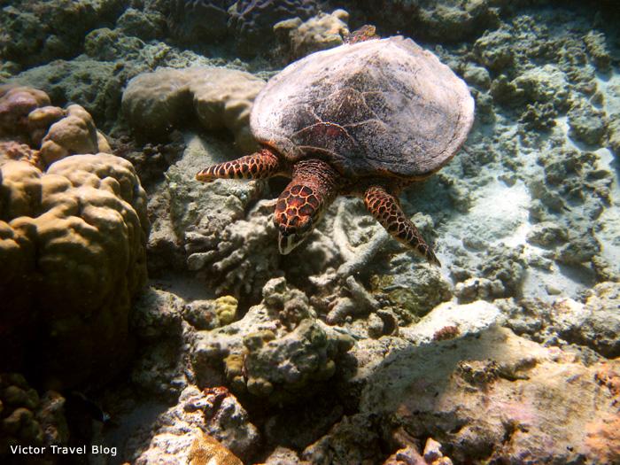 Sea turtle at Reethi Beach, the Maldives.