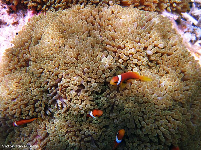 Underwaterlife of Vilamendhoo Island Resort. The Maldives.