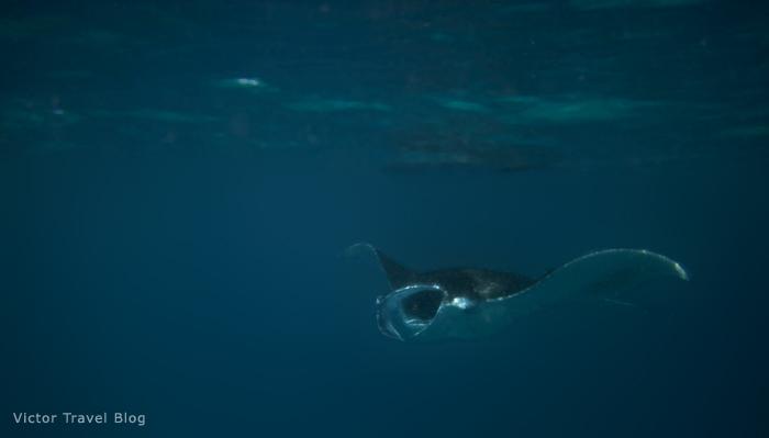 Manta Ray. Red Sea, Egypt.