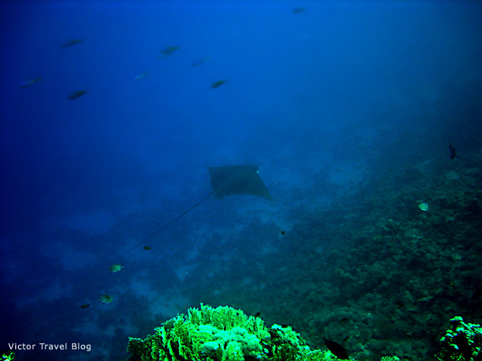 Spotted Eagle Ray. Red Sea Egypt.