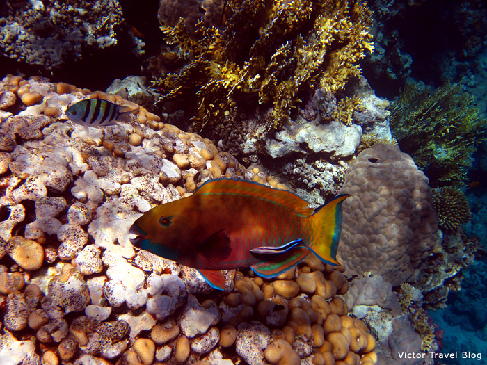 Masken Papageifisch, Taba Heights, Egypt