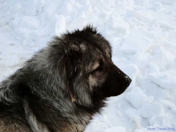 Russian dog.