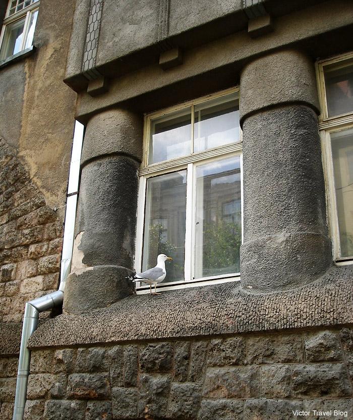 Seagull near window. Rigam Latvia.