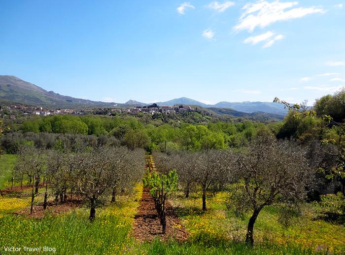 Olive garden, Campania, Italy.