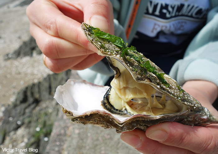 Oyster Creuses-de-Cancale. Brittany, France.