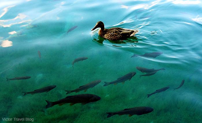 A duck. Plitvice Lake National Park. Croatia.