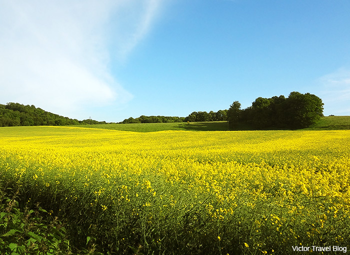 Bright yellow carpets of rapeseed. Normandy, France.