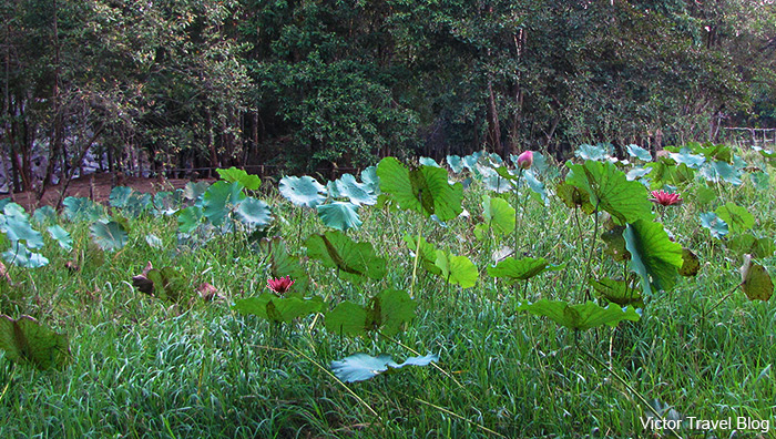 The Lotus Pond near Beng Mealea. Cambodia.