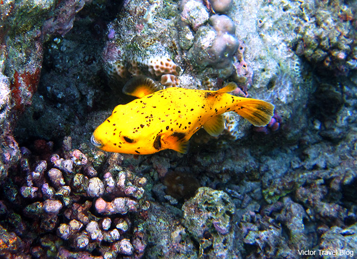 Yellow fish. Underwater photo. Reethi Island. The Maldives.