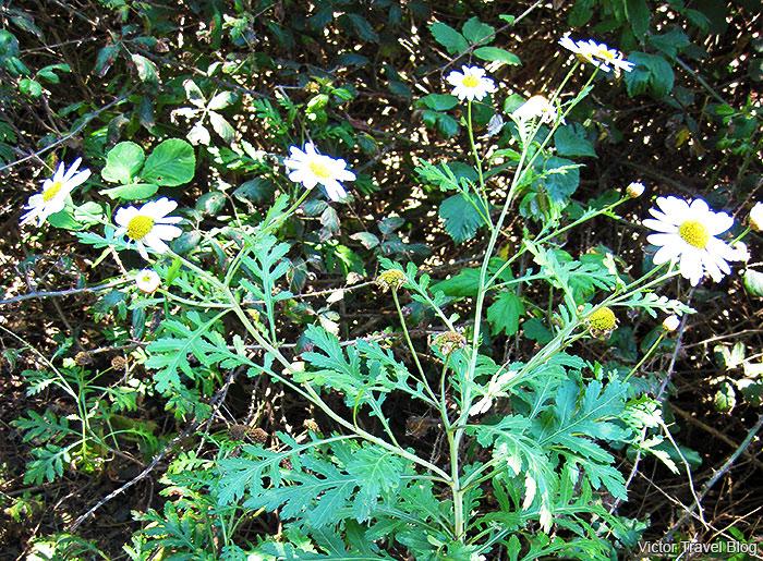 A very, very, very rare plant. Garajonay National Park. La Gomera, Spain.