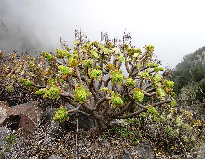 A rare plant. Garajonay National Park. La Gomera, Spain.