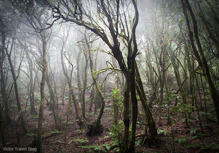 Laurel forest. Garajonay National Park. La Gomera, Spain.