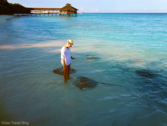 Between the stingrays on the beach of Reethi Island. The Maldives.
