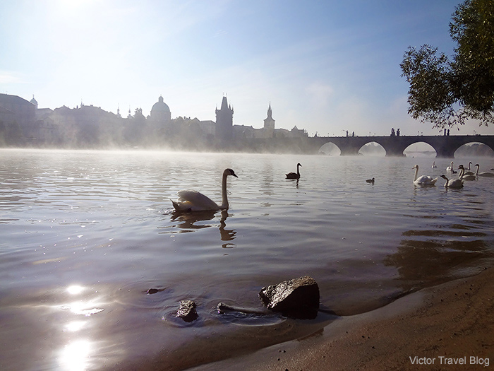 Swans near the famous Charles Bridge. Prague. Czech Republic.