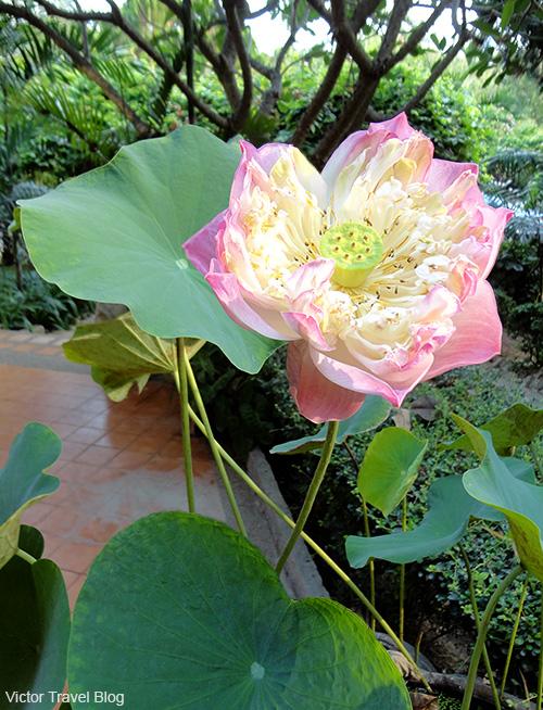 Buddhist sacred lotus. Thailand.