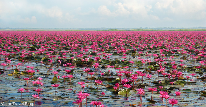 The fabulous Red Lotus Sea at Talay Bua Daeng. Thailand.
