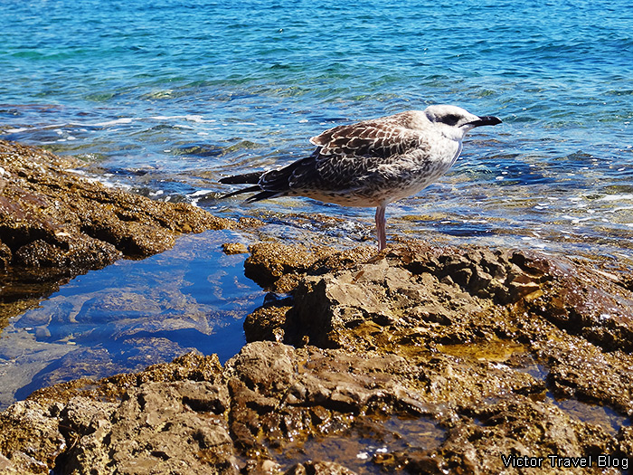 Seagull on the Island of St. Andrew. Rovinj, Istria, Croatia.
