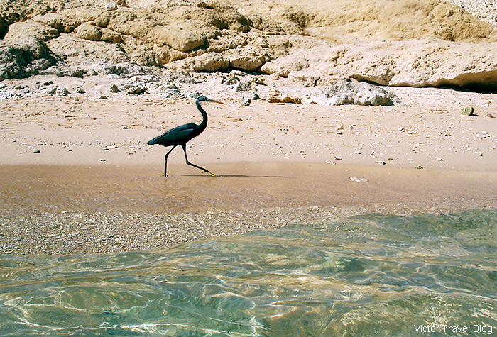A black heron. The El Gouna resort, Egypt, Red Sea.