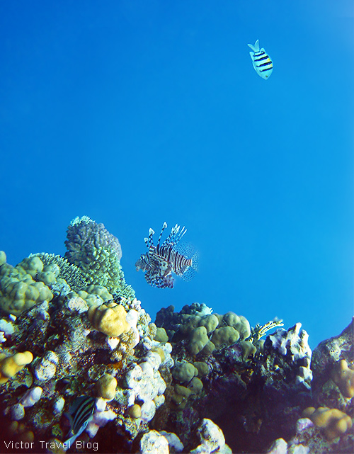 Lionfish. El Gouna, Egypt, Red Sea.