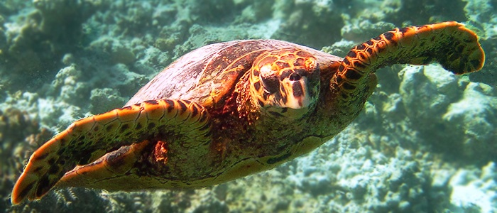 Underwater life of the Red Sea. Turtle. The El Gouna resort, Egypt.
