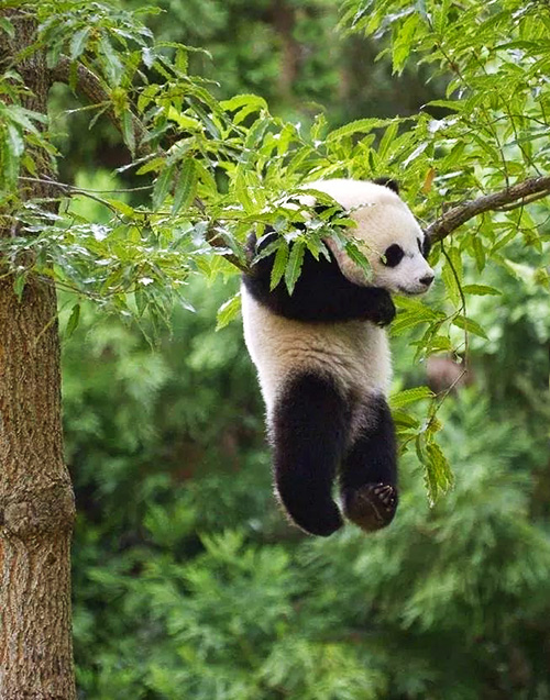 panda-breeding-chengdu-china-5