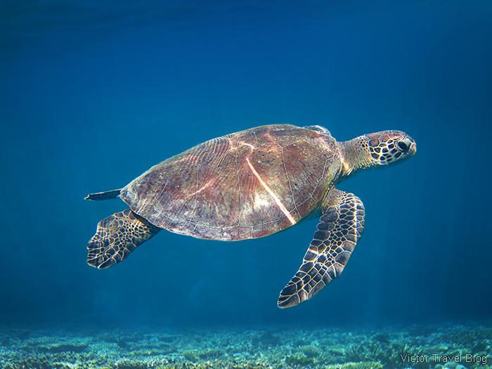 Sea turtle. Coral Reef of the Robinson Club Maldives.