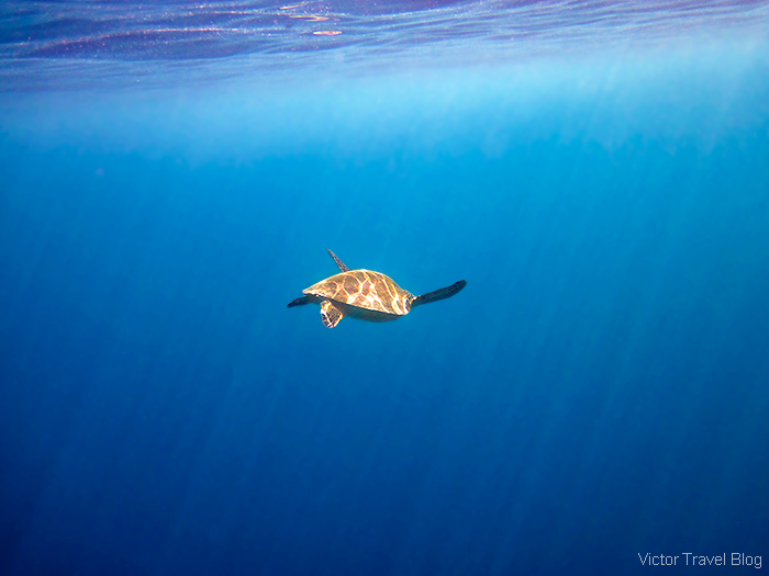 Sea turtle. Snorkeling. Coral reef of the Maldives.