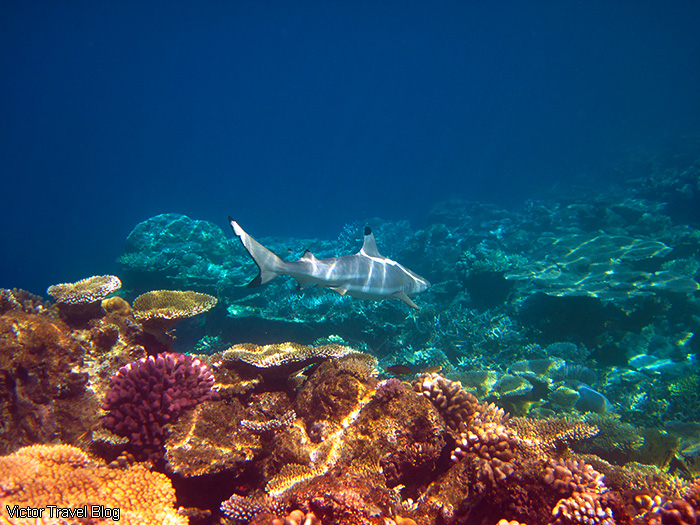 Reef shark. Coral reef of the Maldives.