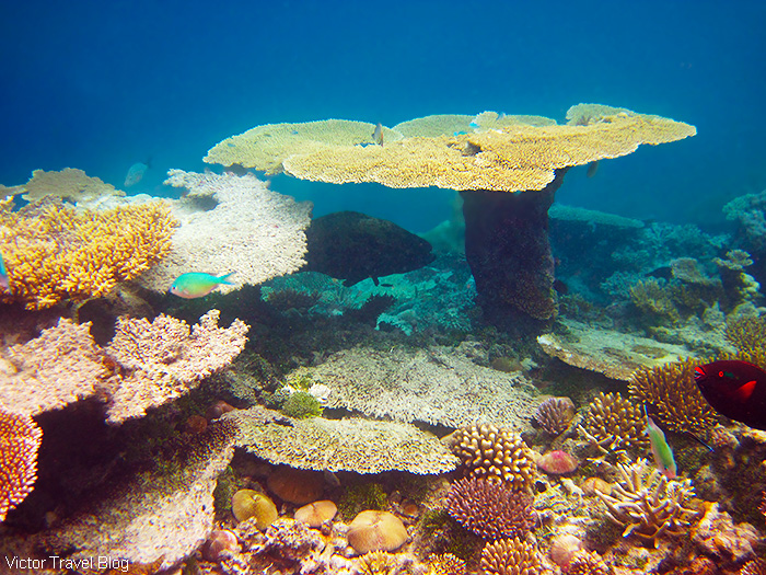 Snorkeling. Coral reef of the Maldives.