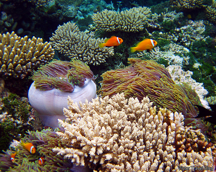 Clownfish. Snorkeling on the Maldives.