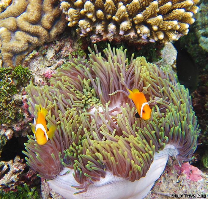 Clownfish. Snorkeling on the Maldives.