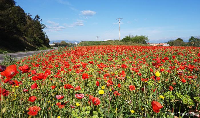 A field of tulips near the Pubol Castle. Catalonia, Spain.
